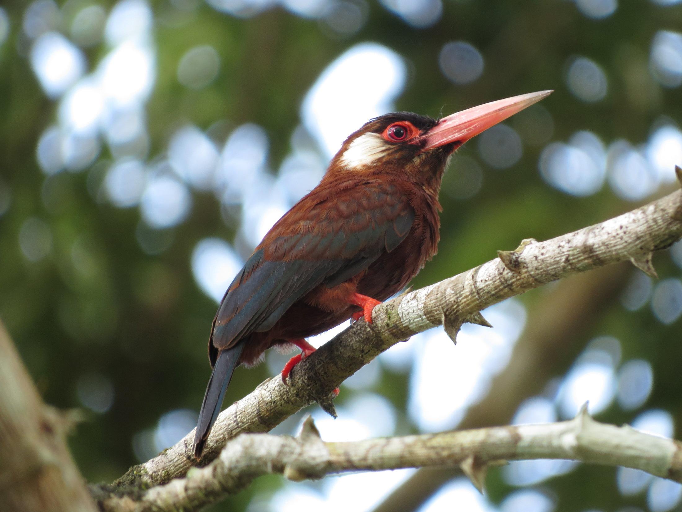 O ariramba-vermelha (Galbalcyrhynchus leucotis)