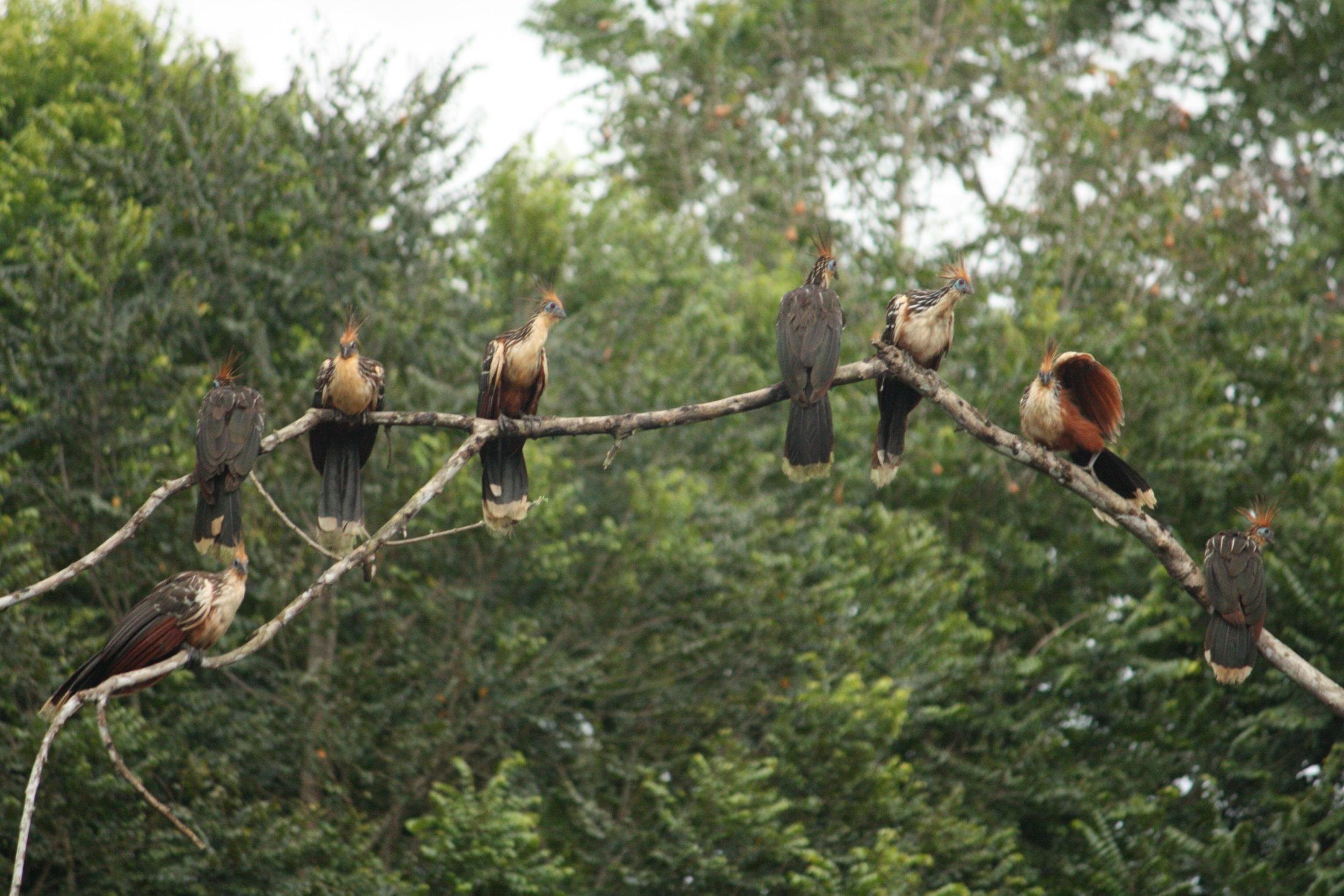 Um grupo de ciganas (Opisthocomus hoazin)