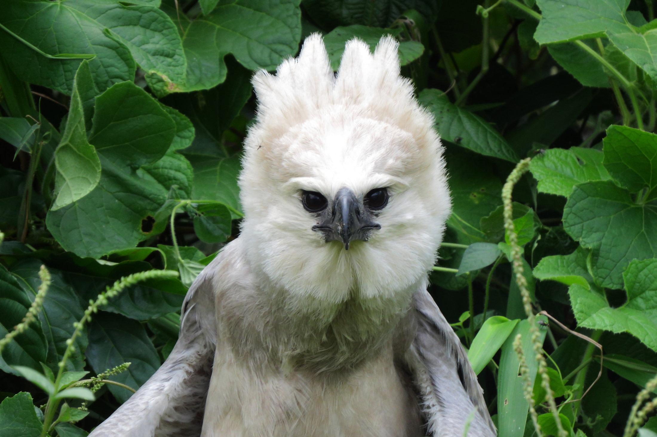 águila arpía (harpia harpyja)